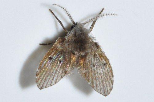 Adult Drain Fly, Wings Spread