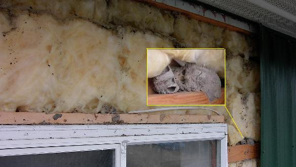 How To Get Rid Of Mice In Your Attic Pest Revenge