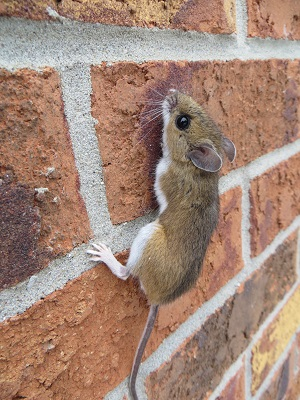 mouse climbing brick wall