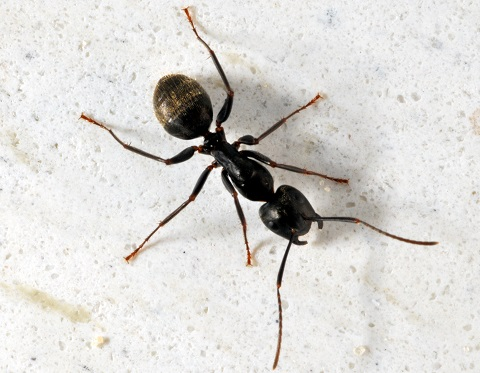 Carpenter Ants Often Invade Walls