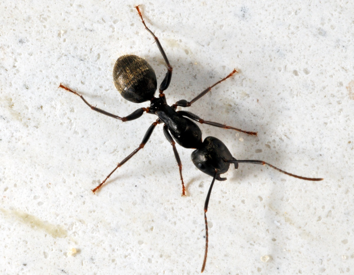 Carpenter Ants Often Invade Walls : carpenter ants in attic  - Aeropaca.Org