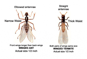 Ant vs. Termite Anatomy