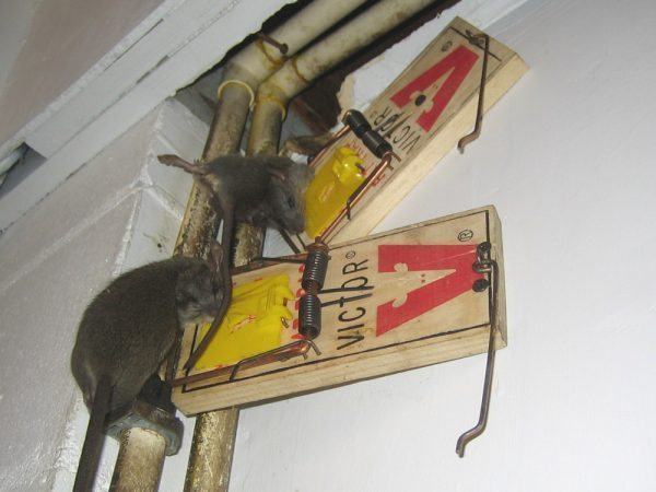 Where To Place Mouse Traps Pest Revenge