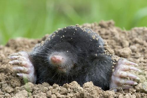 How To Get Rid Of Moles Pest Revenge