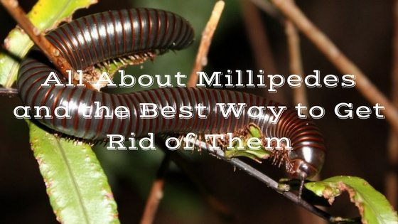 All About Millipedes and the Best Way to Get Rid of Them