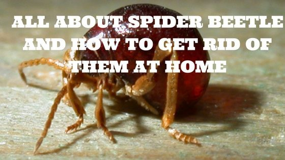 All About Spider Beetle and How To get Rid Of Them At Home