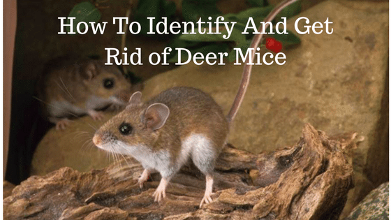 How To Identify And Get Rid of Deer Mice