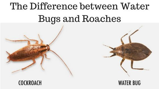 The Difference between Water Bugs and Roaches