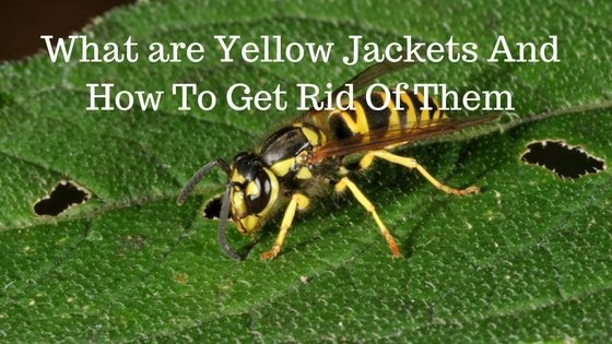 What are Yellow Jackets And How To Get Rid Of Them