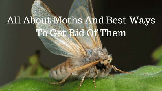 All About Moths And Best Ways To Get Rid Of Them