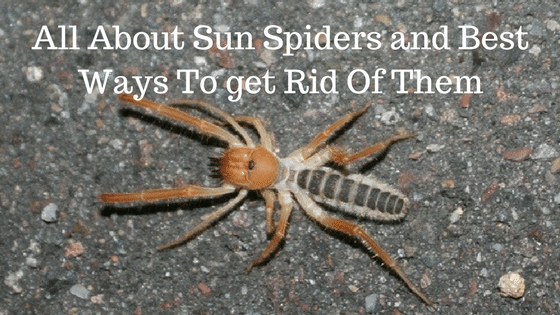 All About Sun Spiders and Best Ways To get Rid Of Them