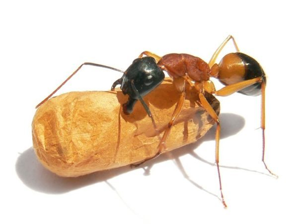 Black headed sugar ant