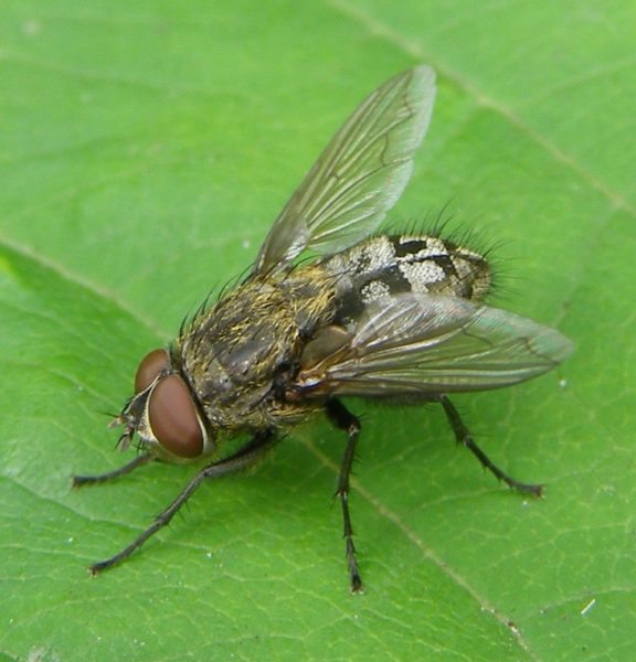 Get Rid Of Cluster Flies In Your Home And Prevent Them