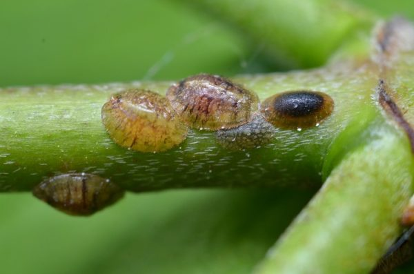 Coccoidea - garden pests