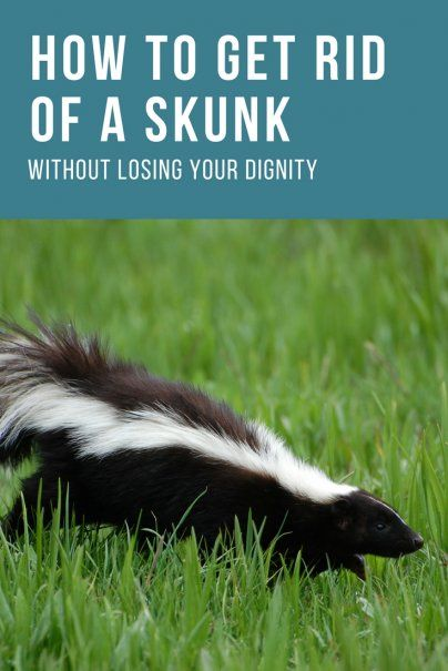 7 Tips to get rid of skunks